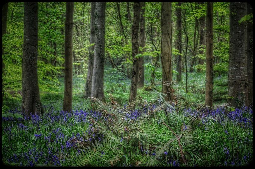 Hillsborough Forest Northern Ireland Forest Trees Woods Forest Photography WoodLand EyeEm Best Shots - Nature Forest Floor Undergrowth Thick Vegetation Bluebells Protected Flower Protected Species EyeEm Flower Our Best Pics The Great Outdoors - 2016 EyeEm Awards EyeEm Gallery Natures Magic Beauty In Nature Wild Flowers EyeEm Best Shots Woodland Flowers Natures Diversities Nature
