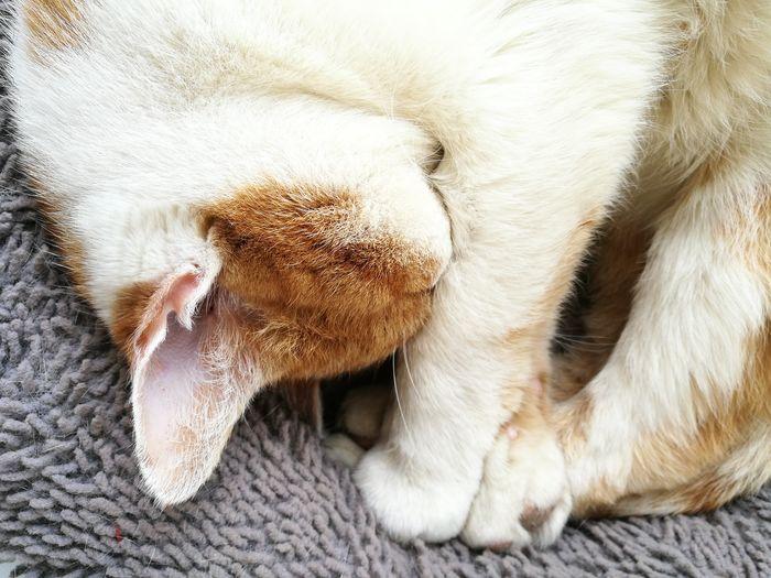 Pets Domestic Cat Feline Close-up