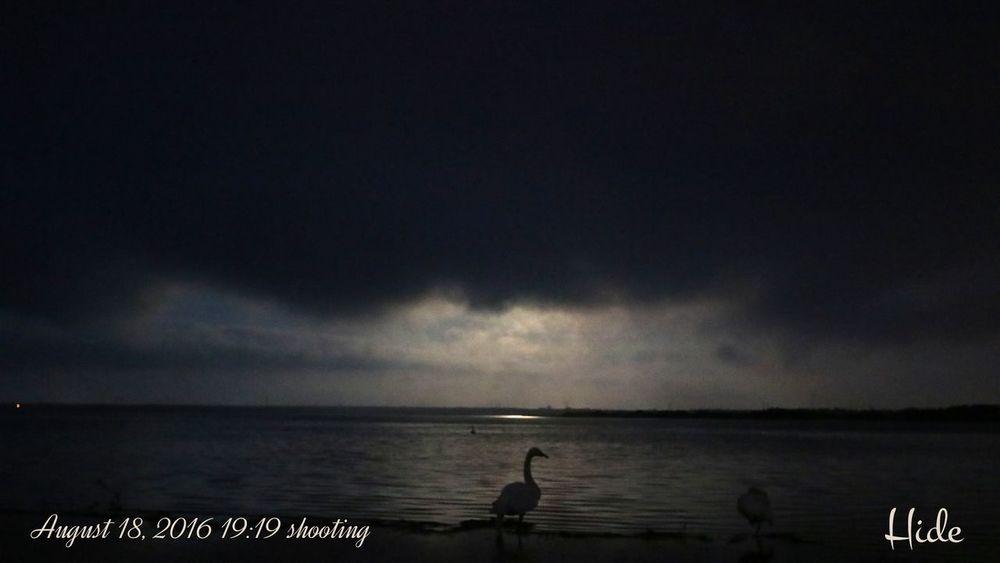 十六夜 雲に隠れた満月の月明かりに浮かぶ白鳥 月 月明かり 雲 湖 水面 空 十六夜 十六夜月 十六夜の月 十六夜の満月 ウトナイ湖 Moon Moonlight Izayoi Fullmoon Cloud Clouds And Sky Cloudy Sky Utonailake Tomakomai Hokkaido Japan 白鳥 Swan