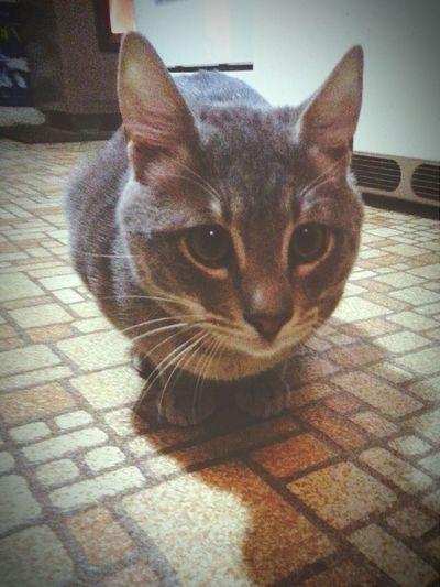 Ramseys <3 Egyption Mau Cat Cute Pets