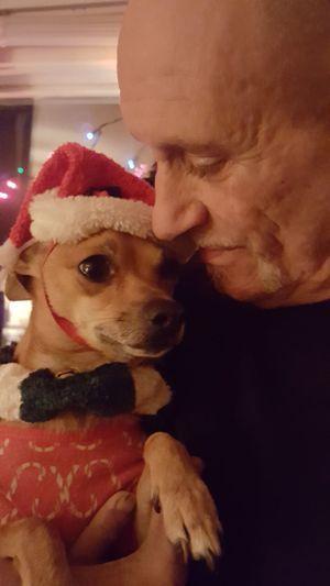 Dog Close-up Domestic Animals DogLife❤️🐶 Chihuahua Dogofeyeem Doglife Taking Photos Mydogisthebestintheworld Dog❤ Dogs Of EyeEm Peanut Christmas Christmasdog East Troy, WI Mydogiscoolerthanyourkids My Pet Petlove  Holiday Moments