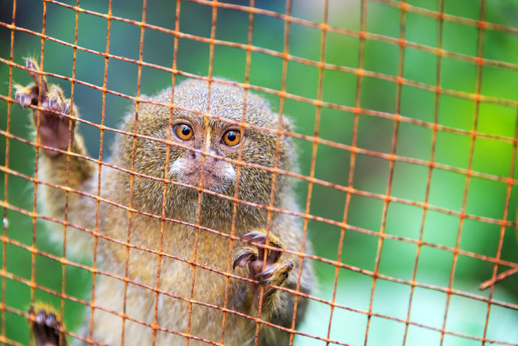 Pygmy monkey in a cage near Iquitos, Peru. The pygmy monkey is the smallest monkey in the world. Amazon Amazonas Amazonia Animals In Captivity Brazil Cage Ecuador Green Iquitos  Jungle Monkey Monkeys Nature One Animal Peru Primate Pygmy Pygmy Monkey Rain Forest Rainforest Rusted Rusty Trapped Wildlife