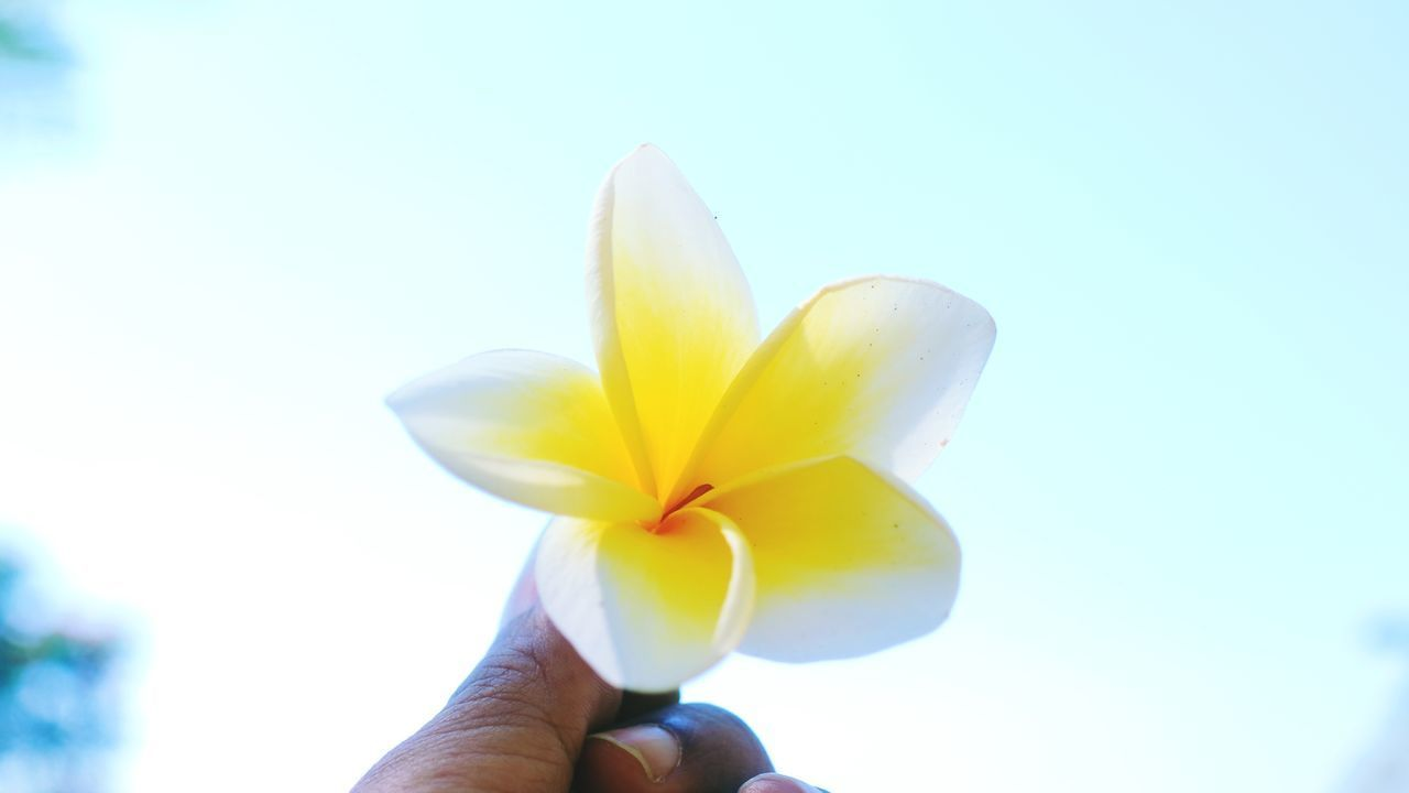 CLOSE-UP OF HAND HOLDING YELLOW FLOWER AGAINST BLURRED BACKGROUND