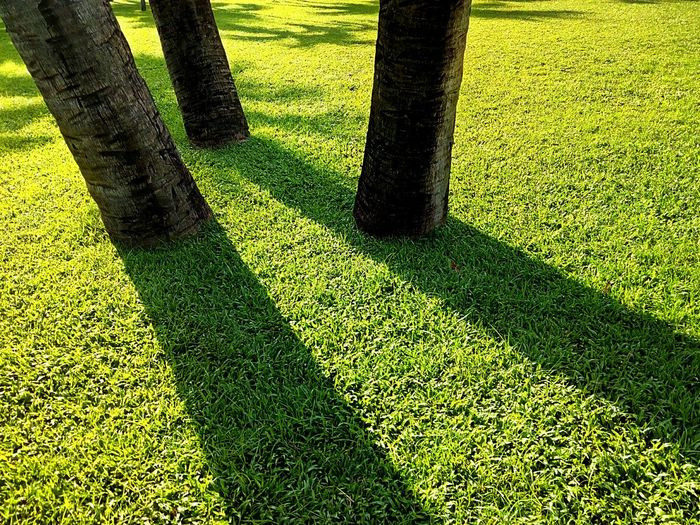 Tree Tree_collection  Grass Floor Grass Floor Tree Trunk Grass Area On The Grand Place On The Grass On The Floor Light And Shadow Light Shadow Shadow On The Floor Shadow On The Ground ใน Bangkok, Thailand