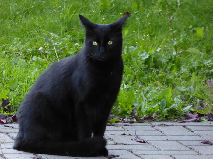 BLackCat Animal Themes Black Color Blackcats Cat Cat Lovers Close-up Day Domestic Animals Domestic Cat Eyemcat Feline Grass Looking At Camera Mammal Nature No People One Animal Outdoors Pets Plant Portrait Sitting