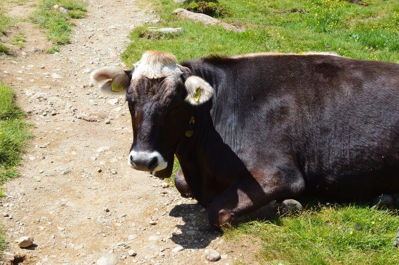 Alto Adige Südtirol South Tyrol Ultental Mammal Animal Vertebrate Animal Themes Land Field Livestock Domestic Animals Nature Pets Domestic Grass Sunlight Cattle Plant One Animal Day No People Cow