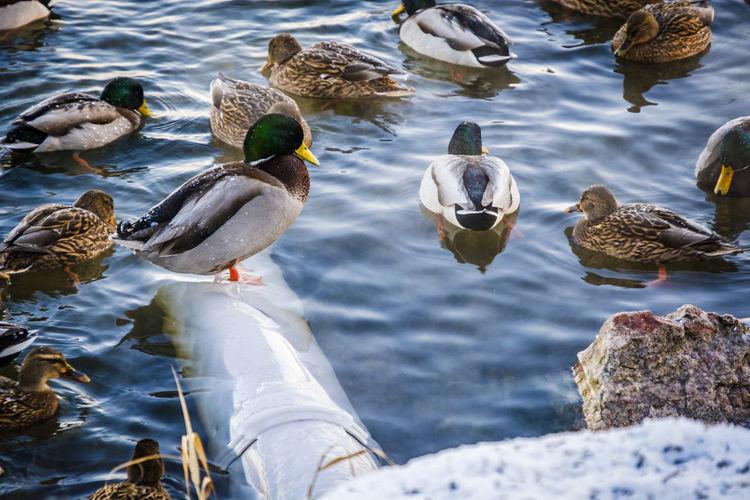 Bird Cold Cold Temperature Day Duck No People Outdoors Snow Snow ❄ Swimming Water Winter FUJIFILM X-T2 Fujifilm_xseries Fujifilm