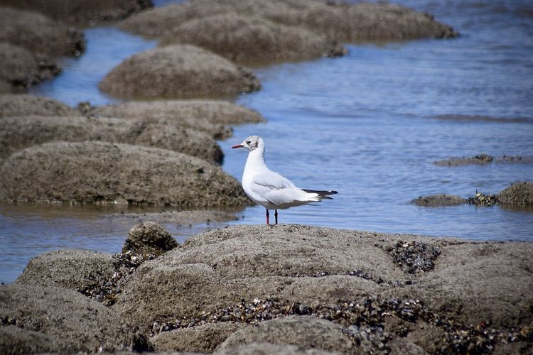 EyeEm Nature Lover EyeEmNewHere Nikon Animal Animal Themes Animal Wildlife Animals In The Wild Beach Bird Day Focus On Foreground Gull Nature No People One Animal Perching Rock Rock - Object Sea Seagull Solid Vertebrate Water