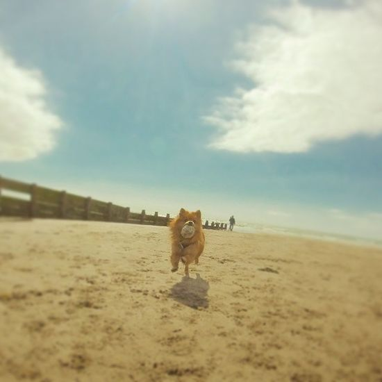 Fetch is the name of the game! Dog Pom Pomeranian Sun Sunny Beach Sea Borth Wales Goprohero Gopro Goprooftheday Gopole Gopoleevo Photooftheday Instagramers Instalike Instadaily Instagood Likes4likes Likes Instafollow Run Fetch Family instamood