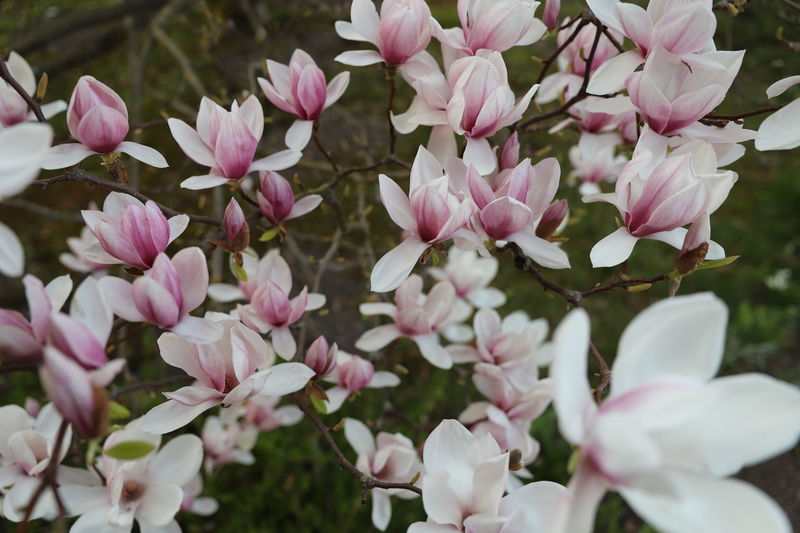 magnolia, Tulpenbaum Magnolia Magnolia Tree Tulpenbaum Beauty In Nature Blossom Botany Close-up Day Flower Flower Head Flowering Plant Fragility Freshness Growth Inflorescence Lilac Nature No People Outdoors Petal Pink Color Plant Springtime Vulnerability