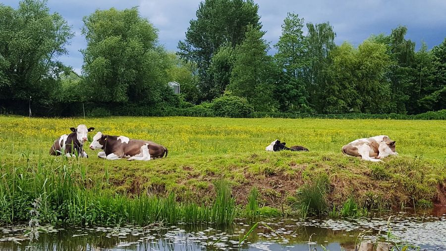 Cows on riverbank against trees