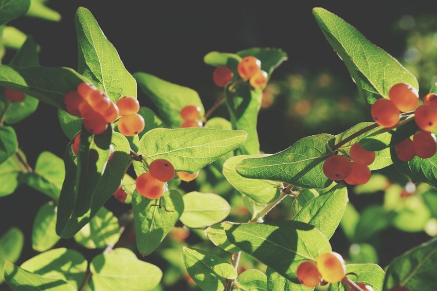 Berries Nature Nature_collection Nature Photography Nature Lover Green Orange Leave Bush Nikon D3300