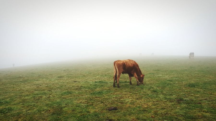 Cows in the fog... how many can you see? Grazing Grazing Cattle Nature EyeEm Nature Lover Eye4photography  Nature Photography Naturelovers EyeEm Best Shots Cows Dandenong Ranges Fog Rural Scene Agriculture Field Animal Themes Grass Landscape Cow Livestock Farm Animal Cattle Herbivorous Domestic Cattle Pasture