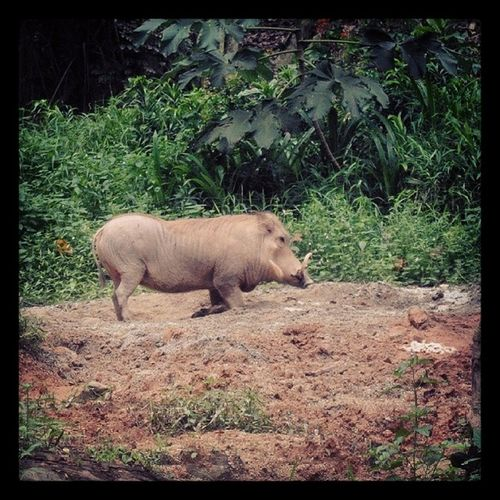Boar Pumba Lion_king Wildlife