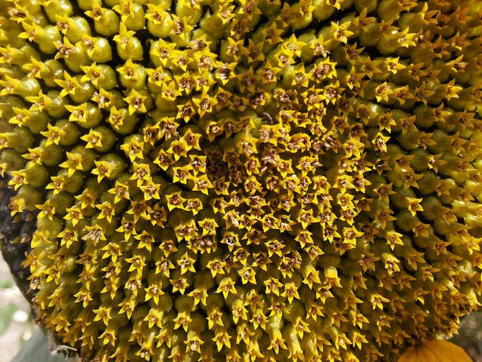 Full frame shot of sunflowers