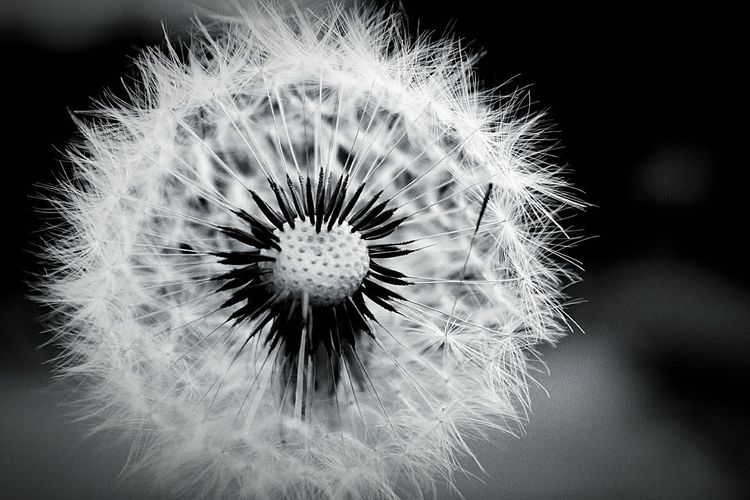 Flower Dandelion Dandelion Seed Freshness Fragility Close-up Softness Flower Head Uncultivated Nature Wildflower Focus On Foreground Outdoors Day Beauty In Nature Plant Springtime No People Pusteblumen EyeEm Gallery EyeEmNewHere Pusteblume Black & White Blackandwhite Schwarz & Weiß The Street Photographer - 2017 EyeEm Awards The Great Outdoors - 2017 EyeEm Awards The Portraitist - 2017 EyeEm Awards BYOPaper! EyeEm Selects