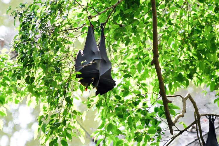 Wildlife and forestry Bat Black Color Branch Clothing Day Disguise Green Color Growth Hanging Leaf Leisure Activity Lifestyles Nature Outdoors Plant Plant Part Tree