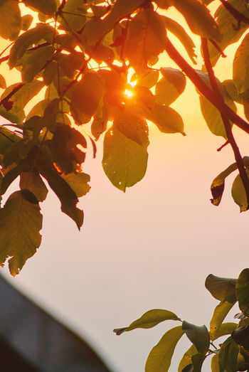 Close-up of leaves on tree during sunset