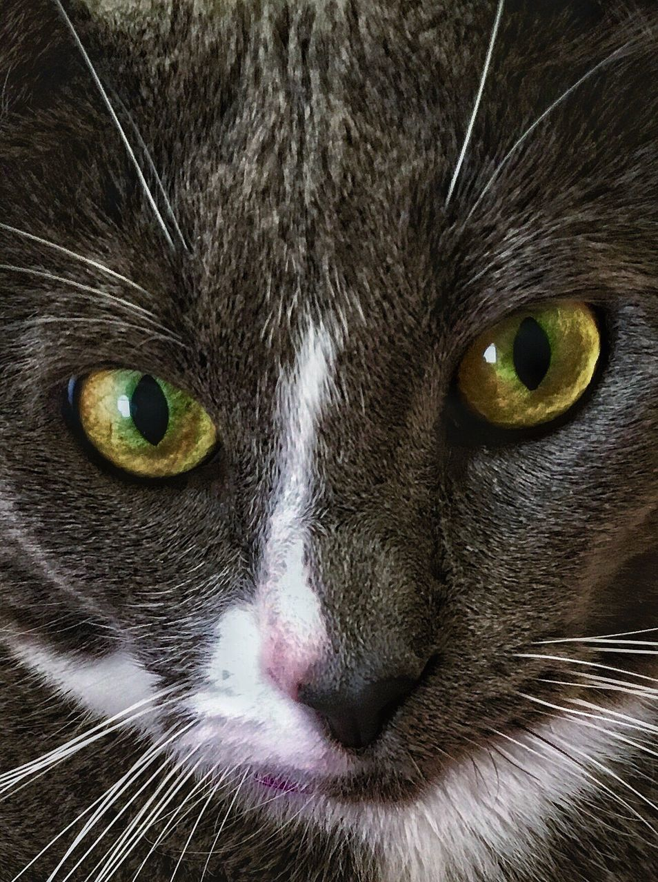 domestic cat, pets, feline, domestic animals, one animal, animal themes, cat, whisker, mammal, portrait, yellow eyes, animal head, looking at camera, animal eye, animal body part, close-up, carnivora, no people, siamese cat, indoors, day