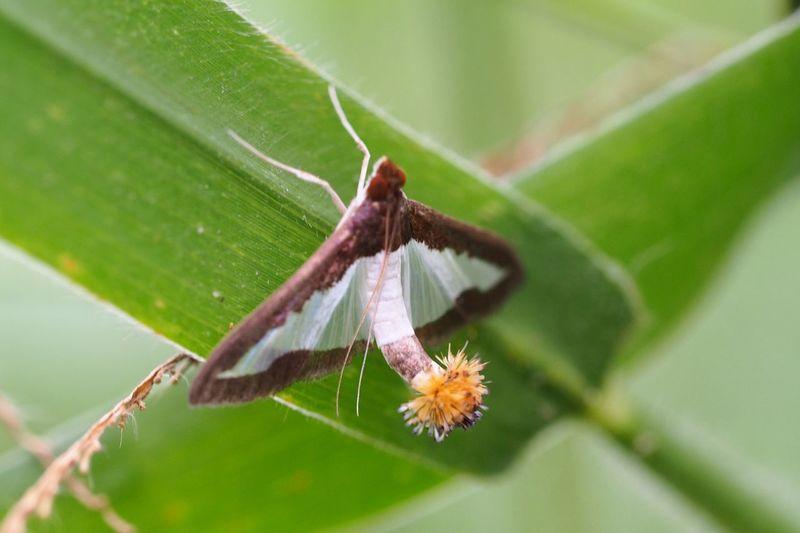 Long Tail Moth