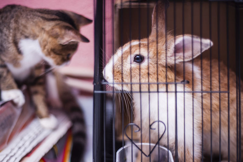 Cat looking at rabbit in cage