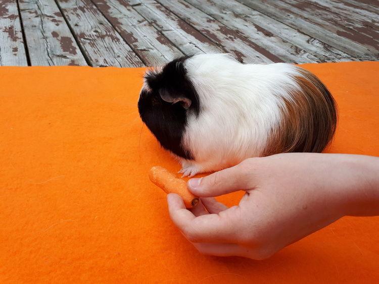 EyeEm Selects Feeding Animals Guineapig Guineapiglove Domestic Pet Orange Animal Themes Guinea Pig Domestic Animals Pet