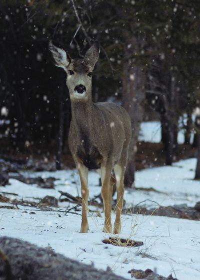 Portrait of deer standing on snow covered land