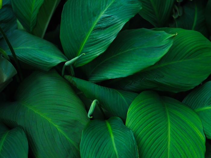 Green tropical leaves pattern background, Natural background and wallpaper. Green Color Backgrounds Close-up Leaf Plant Part Growth Nature Plant Leaves Natural Pattern Beauty In Nature Tropical Tree