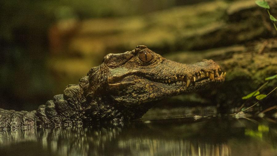 Close-up of crocodile in lake