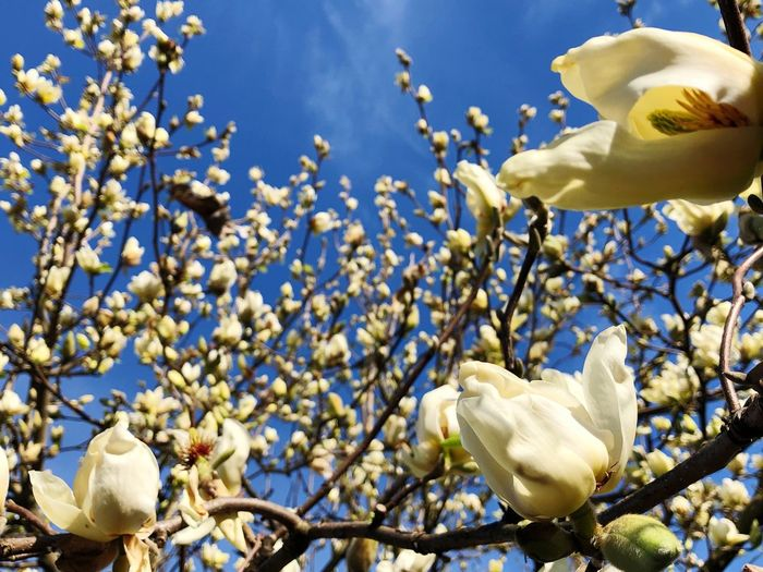 Magnolia Plant Flowering Plant Flower Growth Beauty In Nature Fragility Vulnerability  Low Angle View Tree Freshness Sky Nature Petal No People White Color Springtime My Best Photo