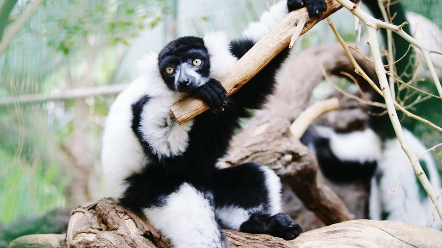 Black-and-white ruffed lemurs on tree in zoo