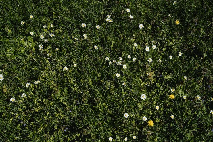 Green Color Growth Nature No People Full Frame Backgrounds Beauty In Nature Grass Daisies Lawn Grass With Flower Lawn