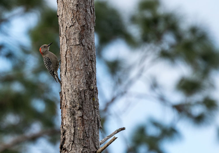 Pecking red bellied woodpecker Melanerpes carolinus on a pine tree Animal Wildlife Animal Animals In The Wild Animal Themes Tree One Animal Vertebrate Bird Plant Focus On Foreground Tree Trunk Trunk Woodpecker No People Day Nature Perching Outdoors Red Bellied Woodpecker Melanerpes Carolinus