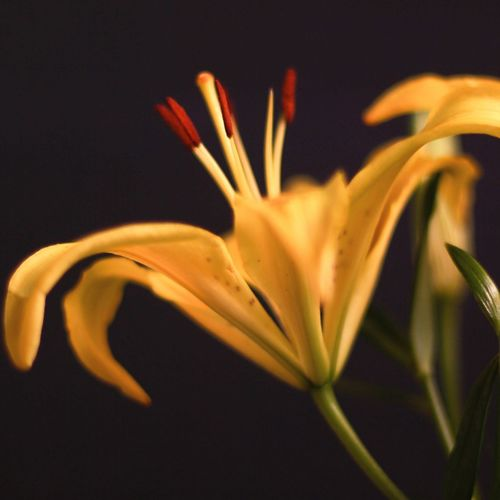 Close-up Growth Nature Agriculture No People Beauty In Nature Indoor Flora Flower Plants And Flowers Indoor LightOutdoors Light And Shadow Yellow Lily Lily Flower Day Yellow Lily Gaiety Yellow Lily Quote Flower Quote