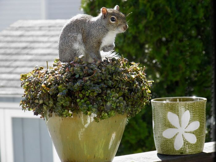 """Squirrel """"chia pet""""! Animal themes plant pot focus on the foreground nature outdoors No People"""