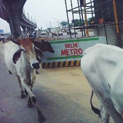 Seeninthecity Streetphotography Cityscene Ontheroad Newdelhi Olddelhi Cattle Streetphoto Cityscapes India Cowsofinstagram Incredibleindia Travel Travelshots Wanderlust Wanderer VSCO Vscocam Vscoeveryday Vscotravel Vscoindia Feel The Journey