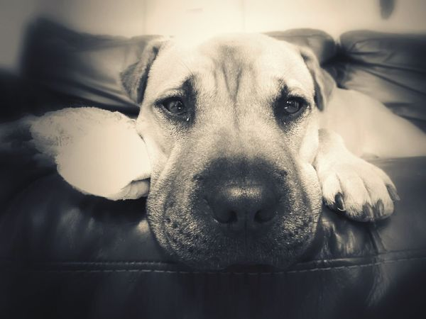 Sharpei Sharpeicross Staffordshirebullterrier Staffiecross Dog Dogs LazyDog Restingdog Dogwithtoy Dog With Toy Sharpei With Toy Blackabdwhitephotography Blackandwhite Bnw_captures Bnw Dogs Bnw Photography Bnw Sharpei