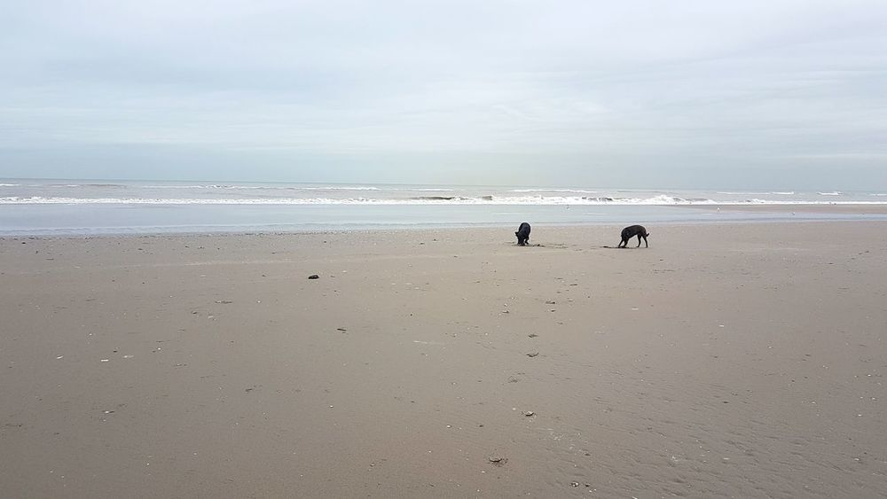 Dogslife Dogs Pack Beachwalk Landscape Sea Outdoors Sand Dutch Landscape Love My Life