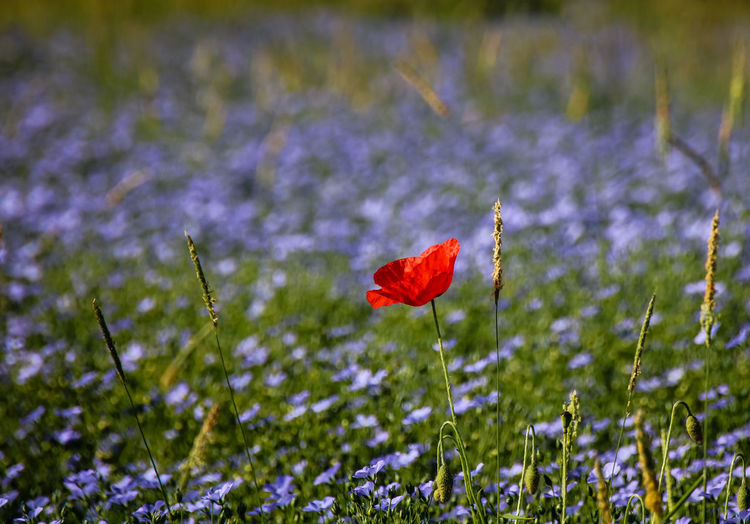 Beauty In Nature Blooming Close-up Crocus Day Field Flax Flower Flower Head Fragility Freshness Grass Growth Nature No People Outdoors Petal Plant Poppy Red Springtime Stem Tranquility