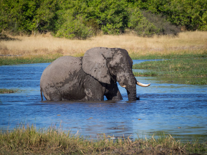View of elephant in river, moremi game reserve, botswana