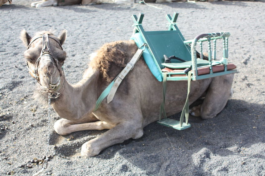 Animal Animal Themes Bored Boring Camel Chill Chillin Funny Faces Sand