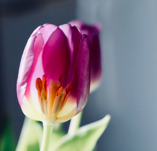 Anther Tulips Beauty In Nature Blooming Flower Blossoming  Close-up Flower Flower Head Flowering Plant Fragility Growth Home Decor Nature Petal Pink Color Pollen Purple Flower Purple Flowers Spring Flower Stamen Tulip Tulip Head Tuliphead