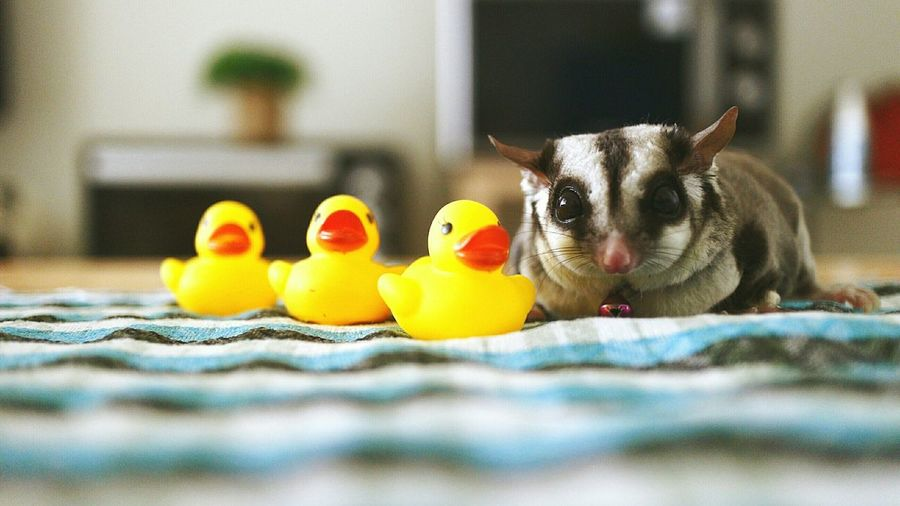 Rodent Lying Next To Rubber Ducks