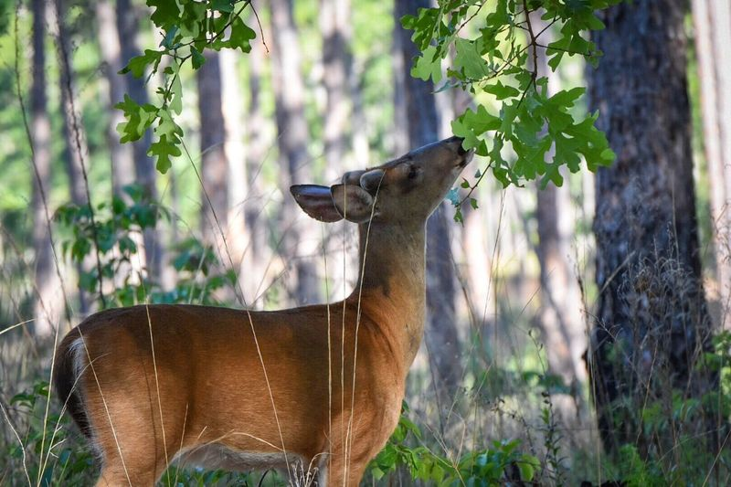 Animals In The Wild Animal Themes Mammal Safari Animals Nature Outdoors Forest Deer White Tailed Deer Florida