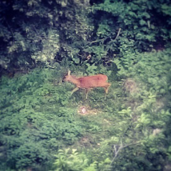 Bambi esce per cena 🌿 Bambi Capriolo Roé Roedeer Urbino Montefeltro