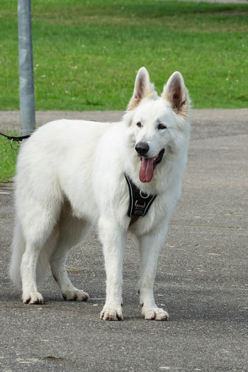 White dog standing on footpath