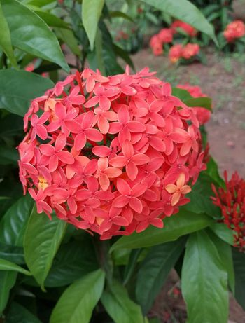 Ixora Coccinea Ixora Idly Poo Red Flowers Red Color Florets Garden Photography Garden Flowers Flower Bunch Eyeem Photography EyeEm Gallery EyeEm EyeEm Nature Lover