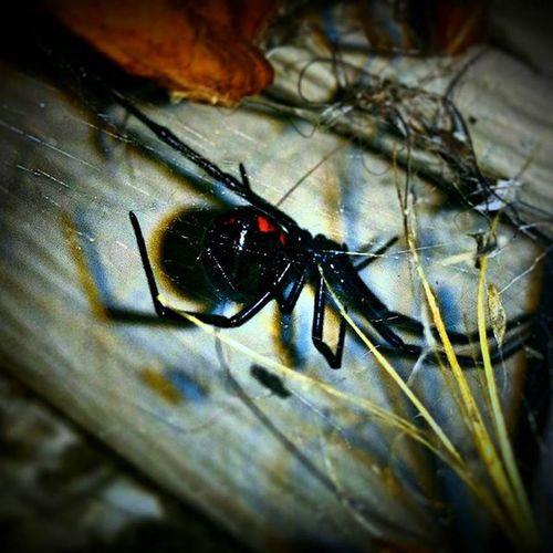 BlackWidow Spider Ew Kelowna Notmypetmonster Keepstheotherbugsaway