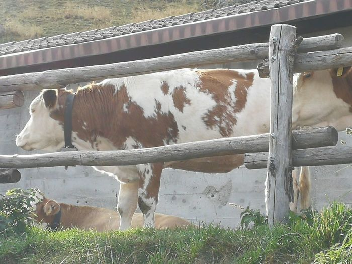 Cow standing in ranch