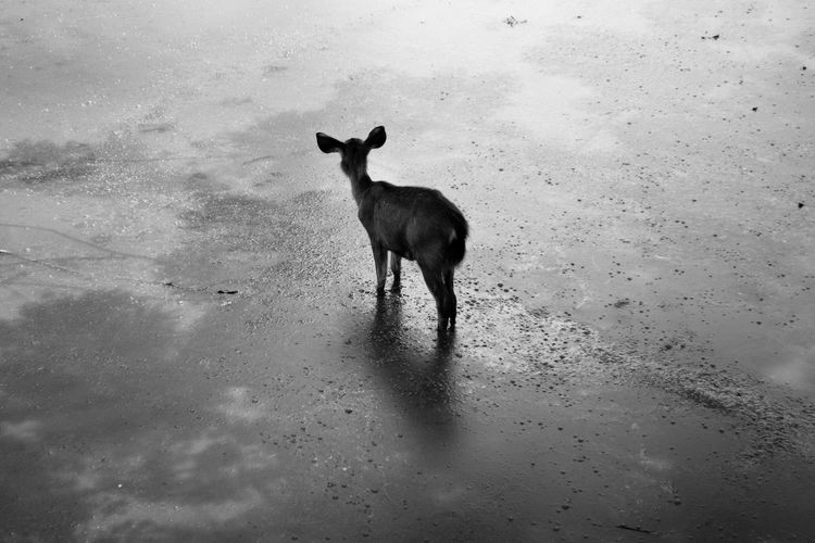 Lonely Deer IV (Black & White). Alone Animal Themes Animal Wildlife Animals In The Wild Blackandwhite Day Deer Domestic Animals Eye Em Nature Lover EyeEm Best Shots Forest Full Length Light And Shadow Mammal Moss Nature No People One Animal Outdoors Silence Silhouette Solitude Standing The Great Outdoors - 2017 EyeEm Awards The Photojournalist - 2017 EyeEm Awards EyeEmNewHere Breathing Space
